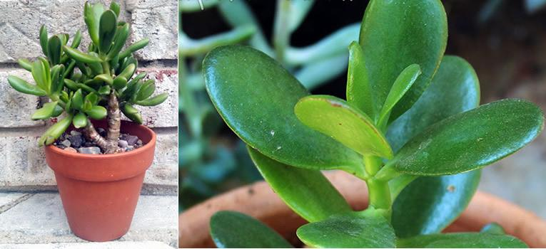 Crassula - jadeplant of geldboom