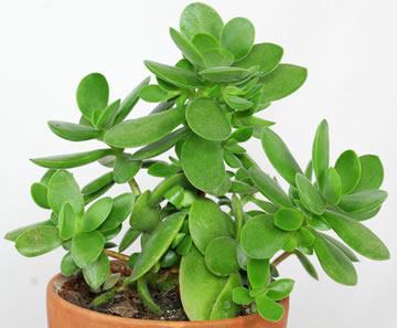 Crassula of jadeplant of geldboom