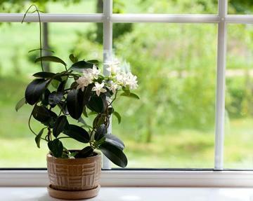 Jasmijn in de slaapkamer - beter slapen met planten