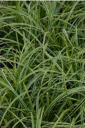 Groenblijvend siergras Carex foliosissima