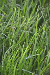 groenblijvend siergras Luzula sylvatica 'Onderbos'