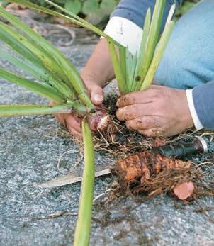 planten vermeerderen met wortelstekken