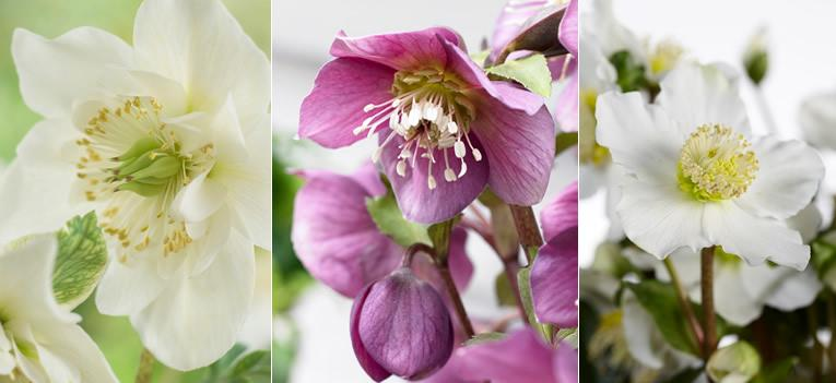 Helleborus niger - Kerstroos = Beauty in de border