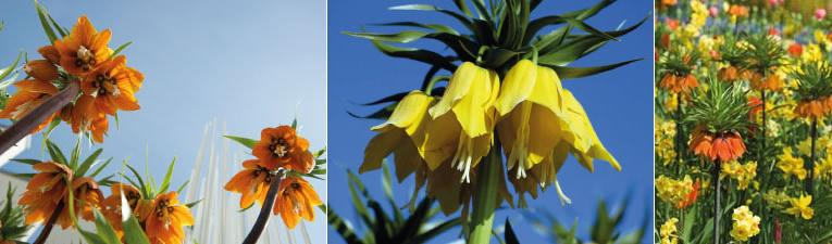 fritillaria imperialis of keizerskroon