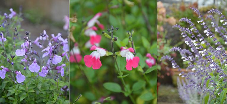 Van links naar rechts: Salvia 'Blue Merced', Salvia 'Pink Lips', Salvia 'Phyllis' Fancy'