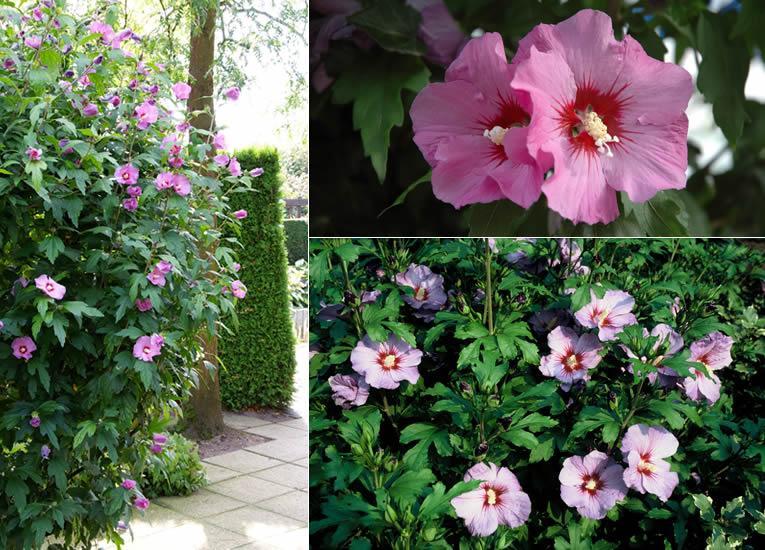 Hibiscus syriacus 'Coelestis' , Hibiscus syriacus 'Woodbridge', Hibiscus syriacus 'Oiseau Blue'