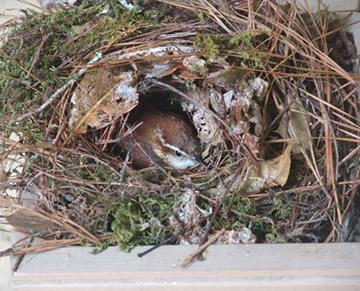 nestplaats holenbroeders winterkoninkje