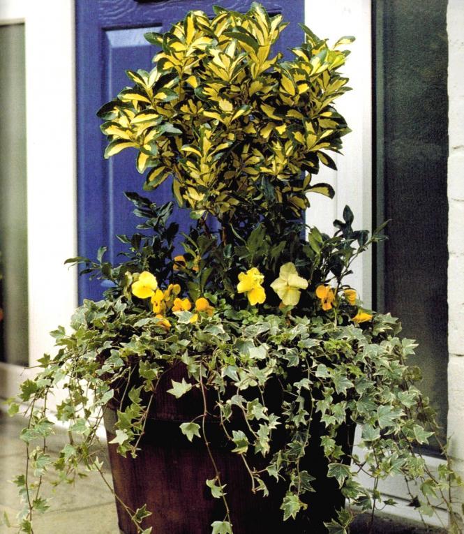 wintergroene bloempot met kleur en geur