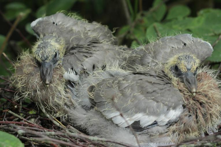 duiven verjagen - houtduiven in de tuin