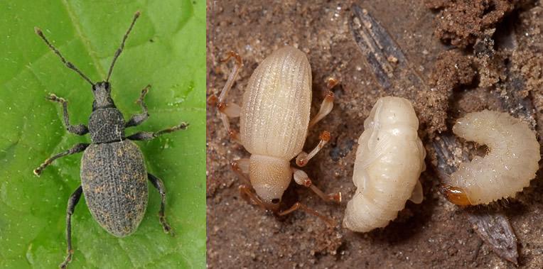 volwassen taxuskever en de larve van de taxuskever