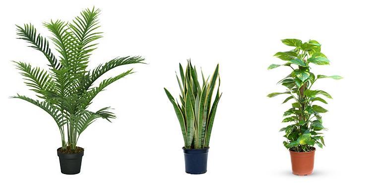 arekapalm (Chrysalidocarpus), vrouwentongen (Sansevieria), tongawingerd (Epipremnum)