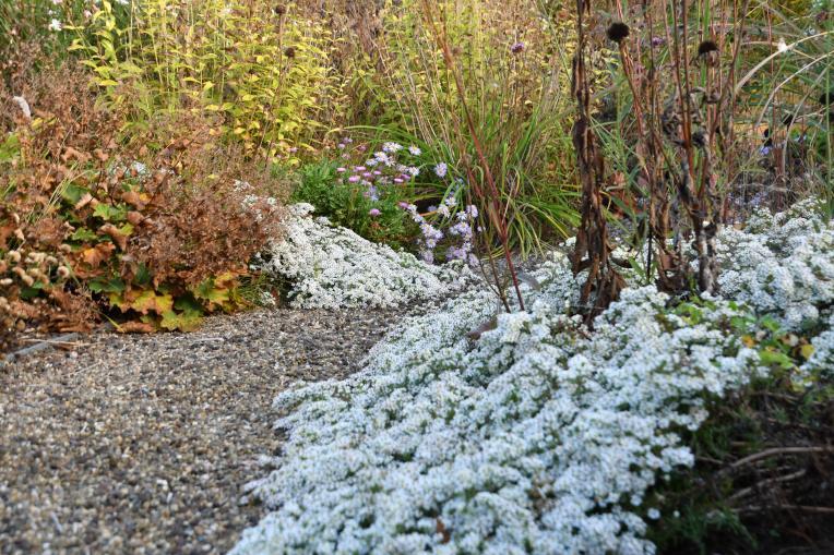 Aster snowflurry - asters planten