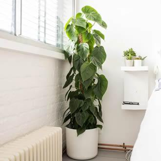 Philodendron (Philodendron scandens)