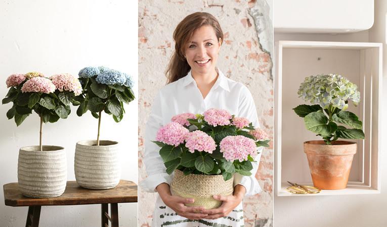 Magical-hortensia bloeit 150 dagen