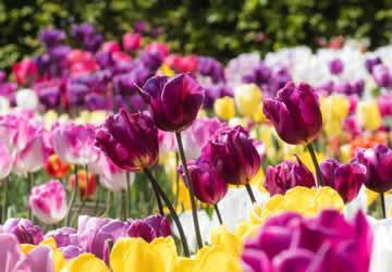 Bloembollen planten: tips & praktijklessen voor meer kleur in de tuin.