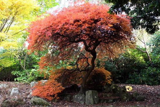 Japanse esdoorn Acer Palmatum