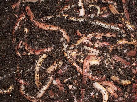 Kringlooptuinieren met een wormenbak