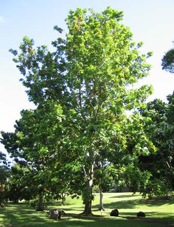 Aki of Blighia sapida exotisch fruit