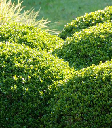 Buxus sempervirens altijd groene gewassen