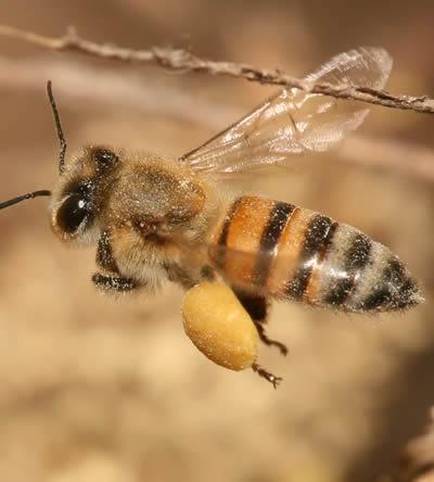Honingbij verzorgen Bombus barbutellus
