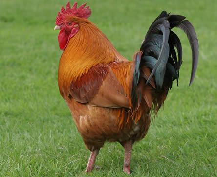 kringlooptuinieren met kippen