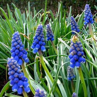Muscari armeniacum - blauwe druifjes in de tuin