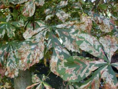 Regelmatig worden we, ook hier in Vlaanderen, geconfronteerd met nieuwe plagen. Een voorbeeld hiervan is zeker het minuscuul klein vlindertje waarvan de larven de bladeren van onze paardekastanjes aantasten, 'paardekastanjemineermot' genaamd (Cameraria ohridella).
