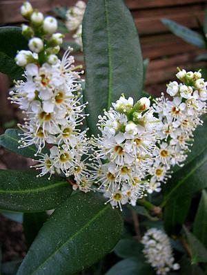 laurierkers bloemen prunus lauroceracus