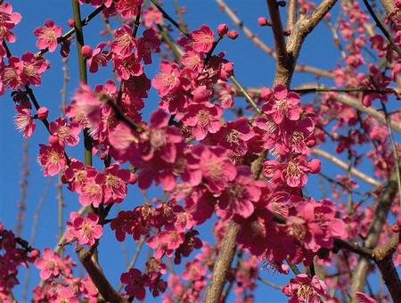 Prunus mume 'Ben-chi-dori' bloeit van half januari tot laat in februari