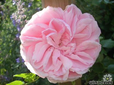 Mooie klimroos met geurende bloemen