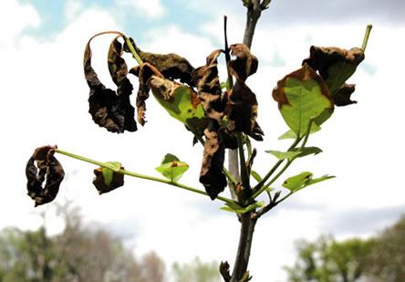 uitgedroogde plant door vorst