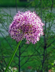 Sterrenlook (Allium cristophii)