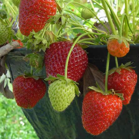 Aardbeien in pot kweken