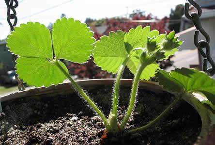 Jong aardbeienplantje in pot