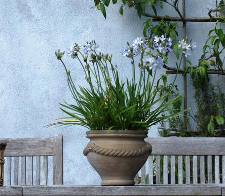 agapanthus in pot
