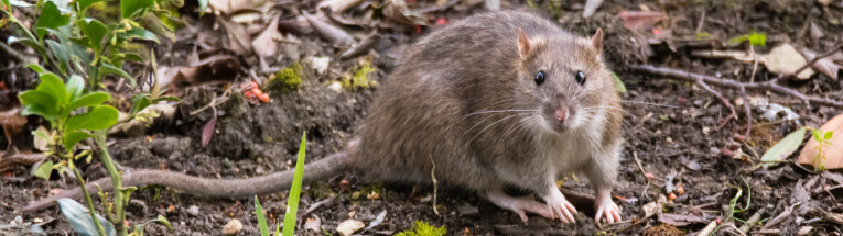 Rat in de tuin