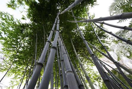 Phyllostachys niger - grootste bamboe soort