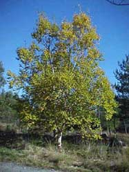 goudberk (Betula ermanii)