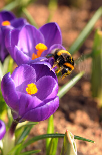 Lentebloeiers helpen de bijen vroeg in het voorjaar.