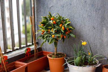 citrusvruchten op het balkon