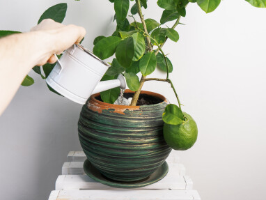 limoenboom verzorgen
