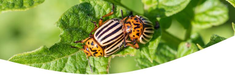 Coloradokevers