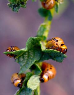 larve coloradokever