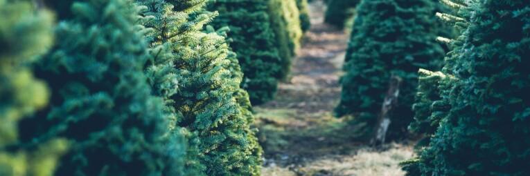 de juiste kersboom kiezen