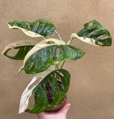 Monstera Adansonii variegata kweken