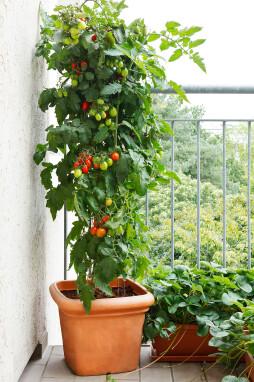 tomaten kweken op het balkon