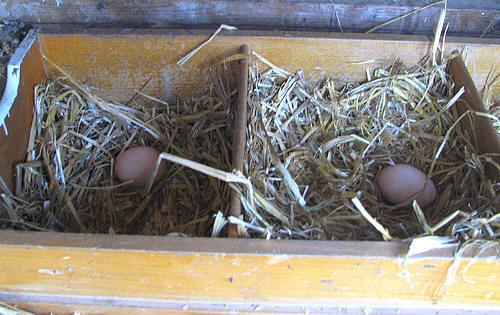 eieren van scharrelkippen in de legbak