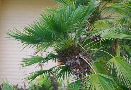 Chamaerops humilis of dwergpalm in de exotische tuin