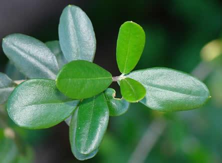 olijf of Olea europaea