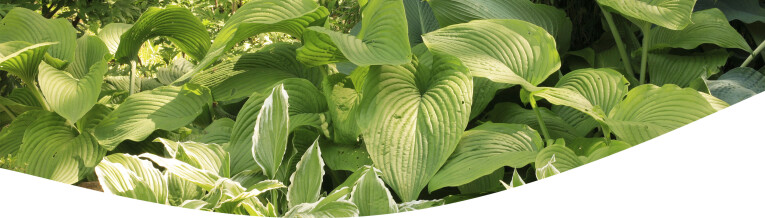 hosta's in de schaduwtuin